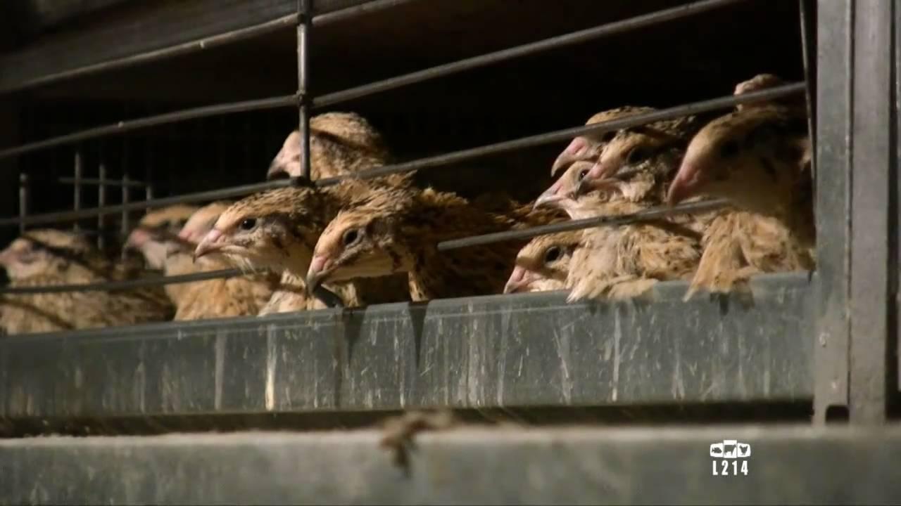 Le modèle alimentaire français : l'élevage des cailles