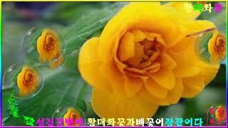 섬진강 하동의 황매화꽃~PD