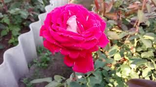 Цветение роз в цветниках 03.06.2018