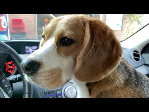 Cute beagle goes to the car wash for the first time