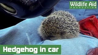 GoPro rescue - Hedgehog travels in style!