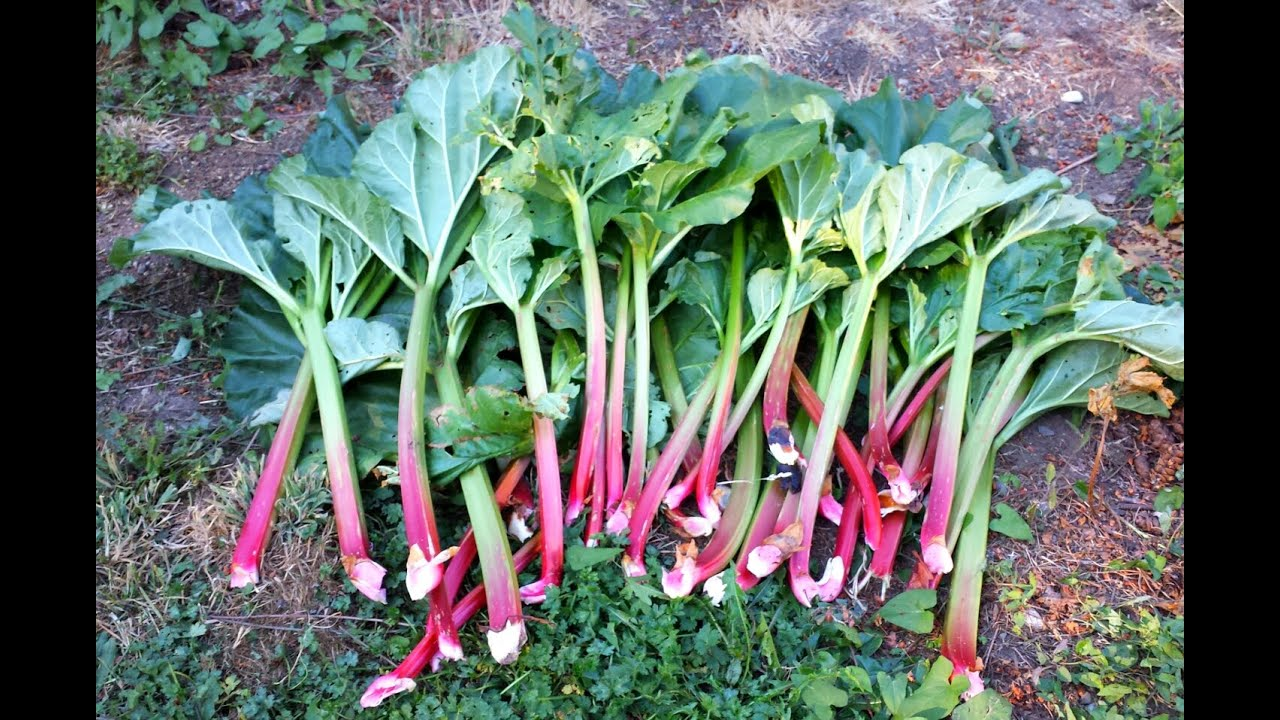 How To Harvest Rhubarb -Growing Rhubarb in the Pacific ...