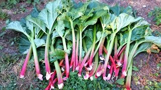 How To Harvest Rhubarb -Growing Rhubarb in the Pacific Northwest - Stafaband