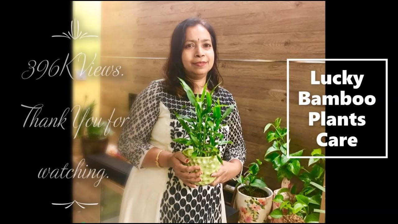 Lucky Bamboo Plant (Dracaena Sanderiana) - Care & Tips for Curing of yellow  leaves