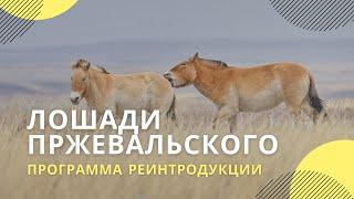 Программа реинтродукции лошади Пржевальского в заповеднике