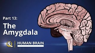 Amygdala - Human Brain Series - Part 13