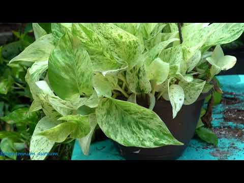 Pothos Care / Epipremnum aureum Care! Fool Proof Houseplants! Golden Pothos Care!