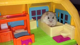 Pampered hamsters love playtime - Cute hamster video