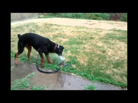 Mischievous Rottweilers have fun