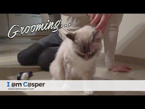 Ragdoll cat Casper loves grooming