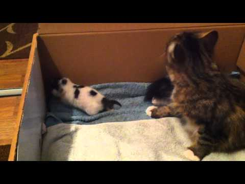 3 days old baby kitten meowing for mum