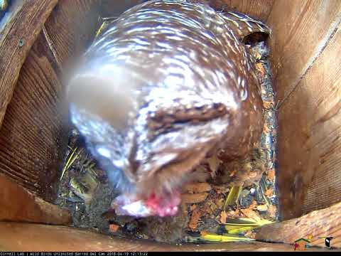 Fish Delivered To Barred Owl Nest Box – April 19, 2018
