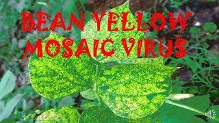 YELLOW MOSAIC VIRUS OF BEAN