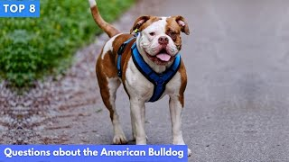 Top 8 Questions about the American Bulldog