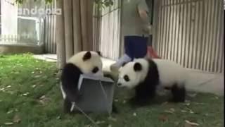 Будни панда-зоопарка