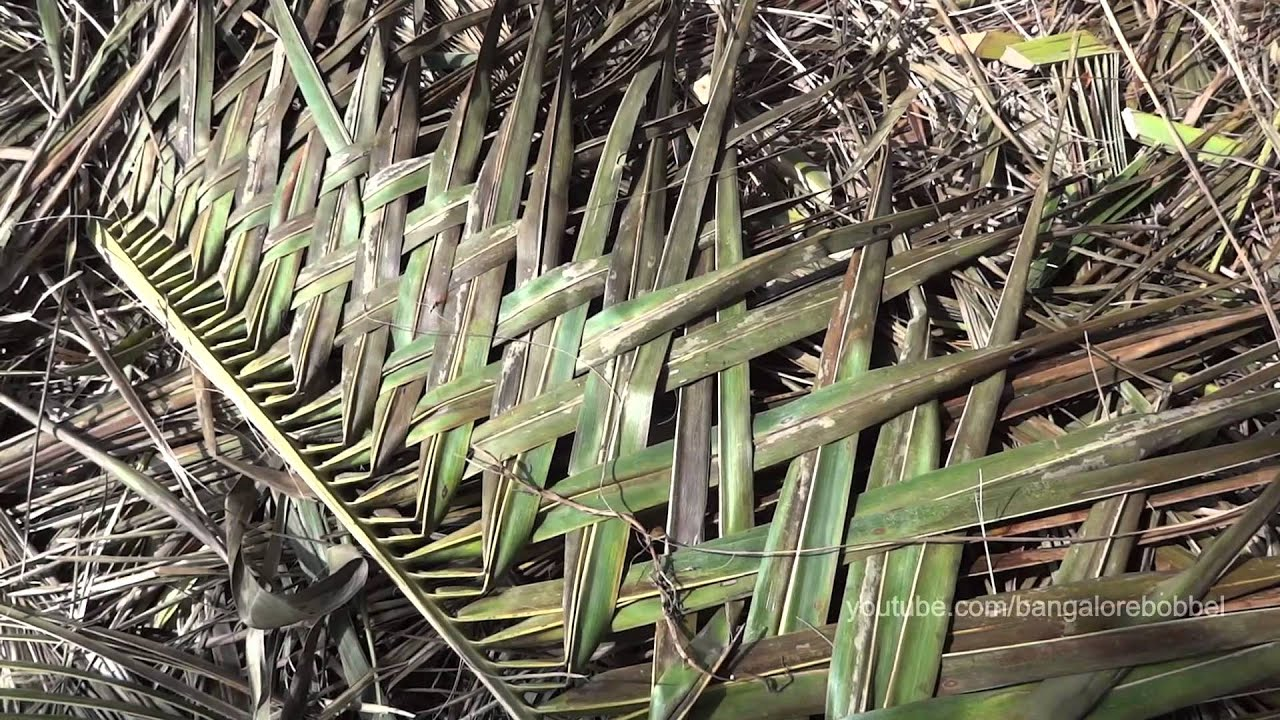 Weaving Coconut Leaves Indian Style Youtube
