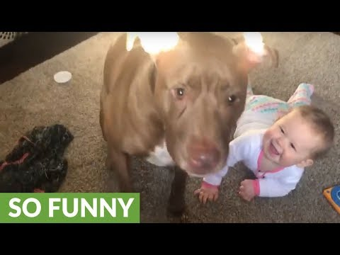 Download Youtube: Pit Bull catching treats triggers baby's hysterical laughter