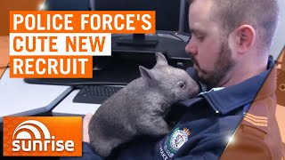 Australian police force recruits adorable orphaned wombat | 7NEWS