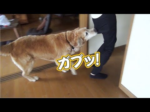 お局様のお尻を噛むゴールデンレトリバー Golden retriever which bites buttocks of 'Otsubonesama'