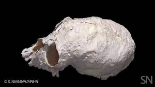 See the digital reconstruction of an ancient monkey's skull | Science News