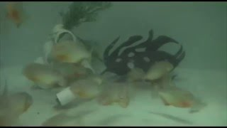 Feeding Red-bellied Piranhas | Mackerel for Dinner | Tennessee Aquarium