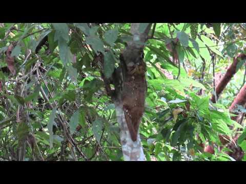 colugo in Borneo 鼯猴科Cynocephalidae