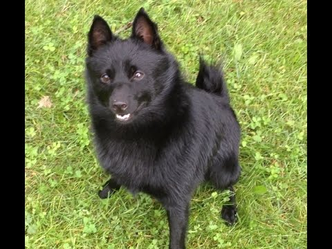 Schipperke-Dog having fun .