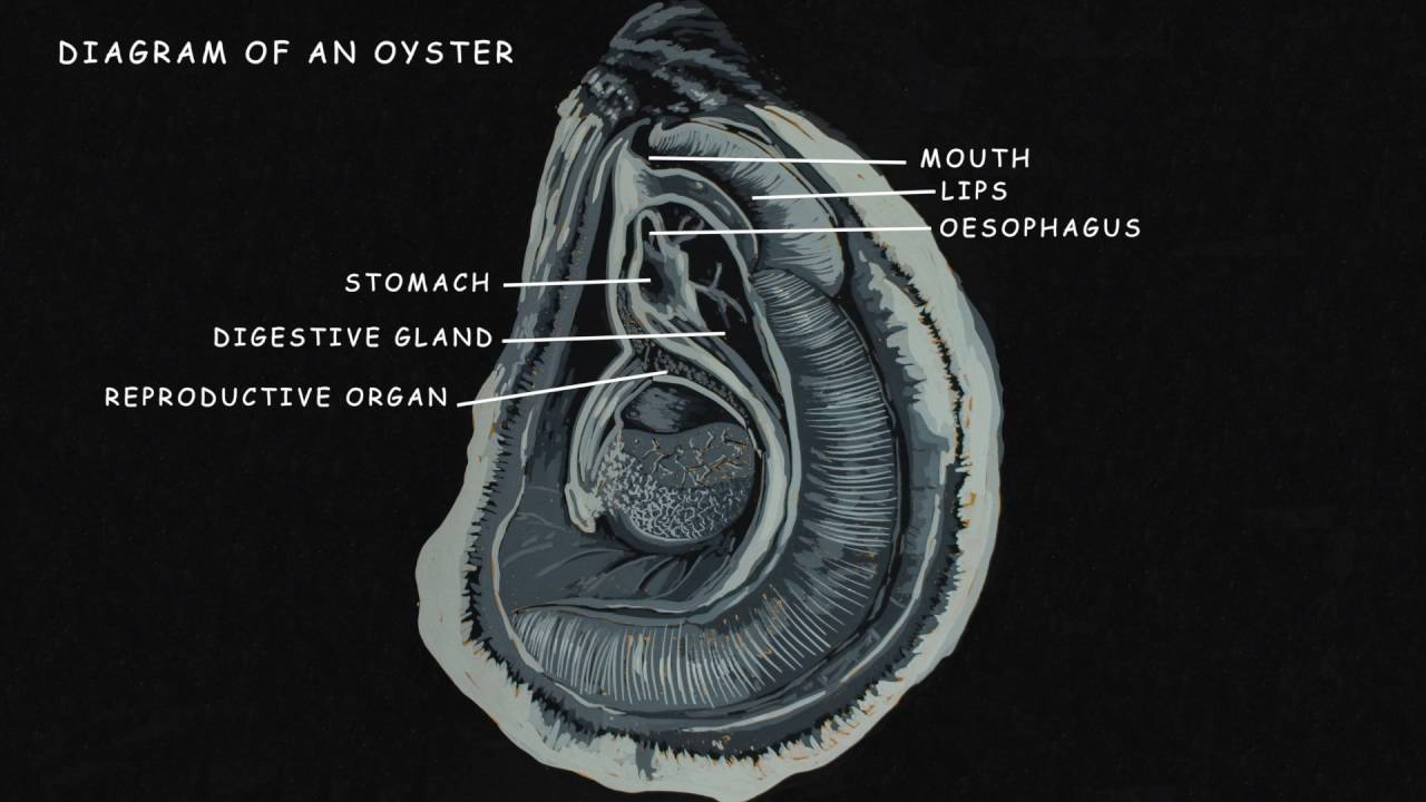 Motivatit Seafoods - Anatomy of an Oyster - YouTube