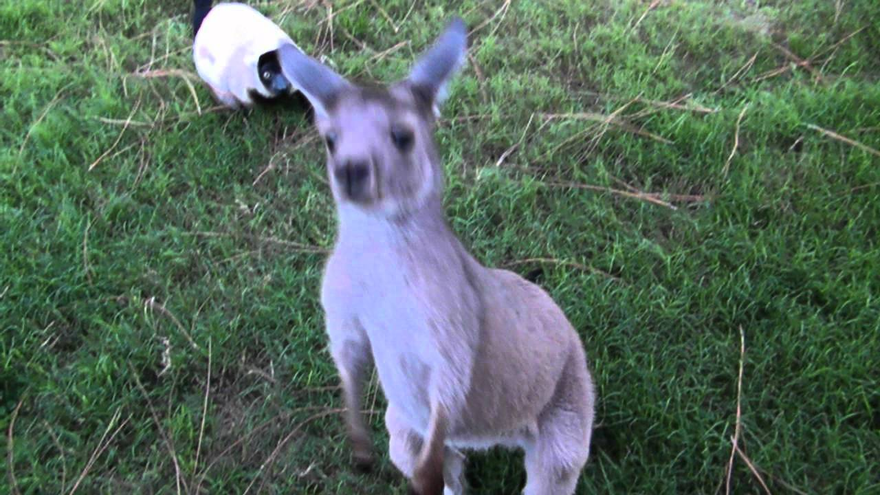 kangaroo and lemur play tag youtube