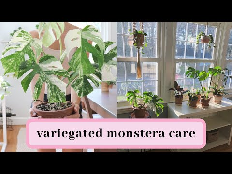 variegated monstera care tips!