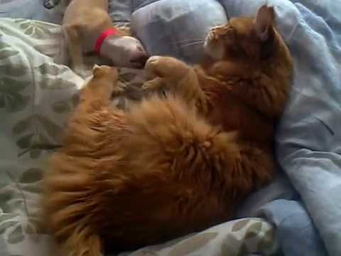 My maine coon cat and chihuahua dog playing together.