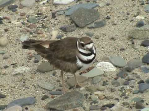 Killdeer Bird Fakes Being Injured
