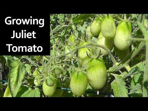 Tomato Plant Profile - Juliet Roma Grape