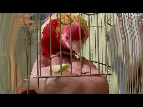 Как приручить попугая какарика к рукам