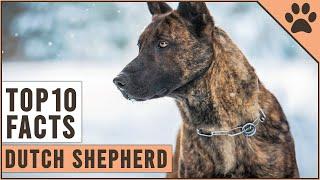 Dutch Shepherd  Top 10 Facts