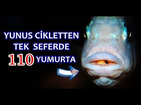 Bir Cikletten 110 Yumurta Aldık | Yunus Ciklet Yavru Alma |
