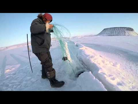 Hunting seals on dogsleds in Greenland with Inuits using nets