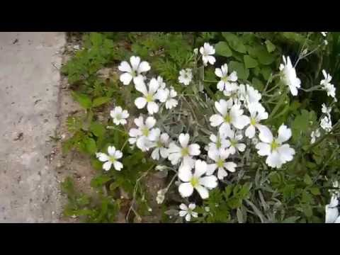 Ипомея лиана для живой изгороди. Как посадить ипомею. Как сажать ипомею.