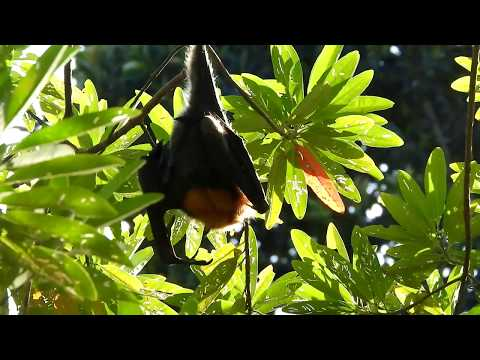 Видео: Grey headed Flying-fox
