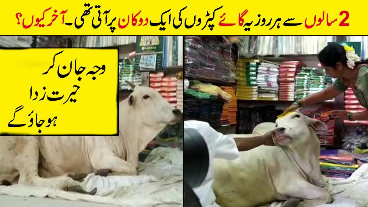 In India A Cow Regularly Visits A Local Shop and Here is The Reason Why