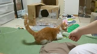 見事なジャンプをするみい太20190428 猫 マンチカン cat Munchkin