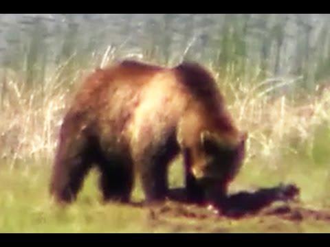 Grizzly bear vs elk or deer in Yellowstone