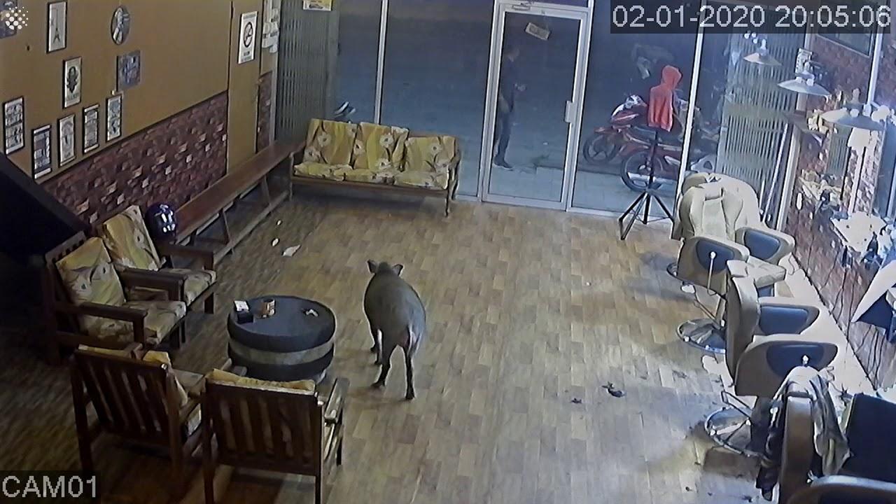 חזיר בר פורץ למספרה ומפתיע את העובדים