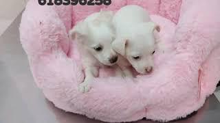 Murcia adopta, raza pequeña, 618396258,hembras