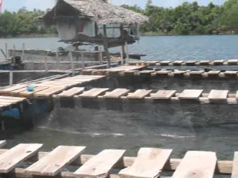 Cage Culture of Sea bass & Tilapiya