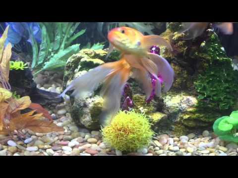 Part 1 saving petco purple tang doovi for Fish at petco