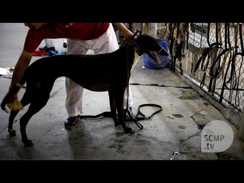 Macau's dilapidated dog racing track 'killing 30 dogs per month' says animal rights group