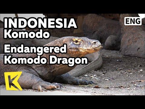 【K】Indonesia Travel-Komodo[인도네시아 여행-코모도]멸종위기 코모도 드래곤/Animal/Protestion/Hunt/Ben/Dragon/UNESCO