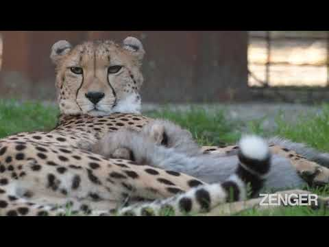 Cheet-ahhhhhs-Adorable-Newborn-Cubs-On-Their-First-Time-Out-Of-The-Den