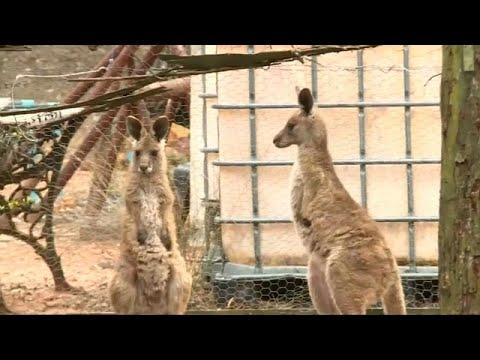 شاهد: ذكر كنغر رمادي يهاجم عائلة في أستراليا  - نشر قبل 48 دقيقة